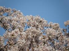 20100404_todoroki_03_sakura01