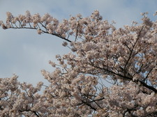 20100404_todoroki_04_sakura02